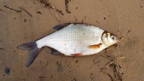 Retén de pesca Bjoerkna de Blicca de los pescados del río fotografía de archivo