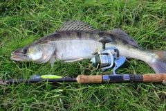 Retén de pesca - zander fotografía de archivo libre de regalías