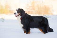 Retén del perro de montaña de Bernese en nieve Fotografía de archivo libre de regalías