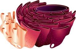 Retículo endoplásmico Imagen de archivo libre de regalías
