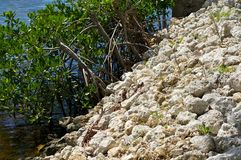 Retaining wall with mangroves Royalty Free Stock Photo