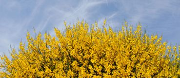 Retama broom with flowers and clouds stock images