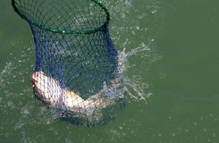 Rete dei pesci Immagini Stock Libere da Diritti