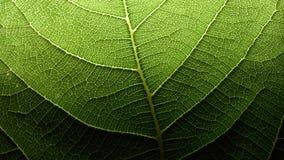 Rete del capillare della foglia Fotografia Stock