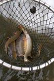 Rete di atterraggio con i pesci Immagine Stock Libera da Diritti