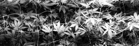 Rete di avaro della cannabis immagini stock