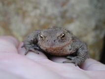 Retenant un crapaud (prince ?) Photo stock