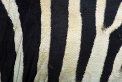 Reticoli della zebra Immagini Stock
