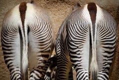 Reticoli della zebra Fotografia Stock