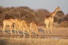 Reticoli dorati dell'Africa Fotografie Stock Libere da Diritti