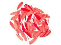 Reticolo 1 dei petali della margherita del Gerbera fotografie stock libere da diritti