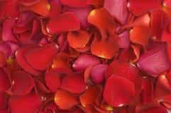 Reticolo dei petali del biglietto di S. Valentino Immagine Stock