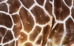 Reticolo della giraffa Fotografia Stock