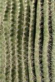 Reticolo della spina dorsale del cactus Fotografia Stock