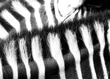 Reticolo della zebra Immagini Stock
