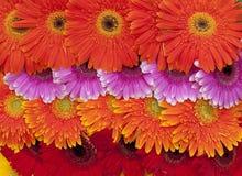 Reticolo di fiore variopinto Fotografie Stock