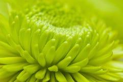 Reticolo a macroistruzione del petalo del fiore Fotografie Stock Libere da Diritti