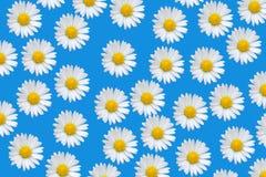 Reticolo variopinto con i fiori della margherita Immagini Stock