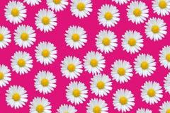 Reticolo variopinto con i fiori della margherita Fotografia Stock