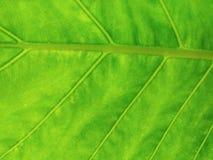 Reticolo verde del foglio Immagini Stock Libere da Diritti