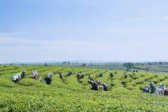 Reticolo verde del giardino del foglio (mare Fotografie Stock Libere da Diritti