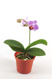 Reticular purple orchid Royalty Free Stock Images