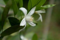 Reticulata anaranjado Blanco de la Flor-fruta cítrica Foto de archivo libre de regalías