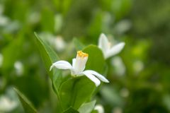 Reticulata arancio Blanco dell'Fiore-agrume Immagine Stock