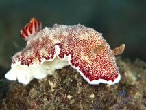 Reticulata di Nudibranch Chromodoris Fotografie Stock