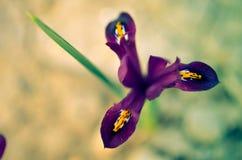Reticulata Iridodictyum της Iris στο χαμηλό βάθος κρεβατιών λουλουδιών του τομέα Στοκ εικόνες με δικαίωμα ελεύθερης χρήσης
