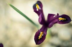 Reticulata Iridodictyum радужки на глубине поля цветника низкой Стоковая Фотография