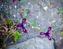 Reticulata Iridodictyum радужки на глубине поля цветника низкой Стоковые Изображения