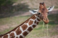 Reticulata réticulé de camelopardalis de Giraffa de girafe images libres de droits