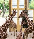 Reticulata réticulé de camelopardalis de Giraffa de girafes, également connu sous le nom de girafes somaliennes, après alimentati photos libres de droits