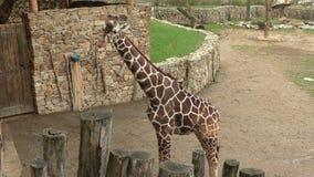 Reticulata reticulado de los camelopardalis del Giraffa de la jirafa almacen de metraje de vídeo