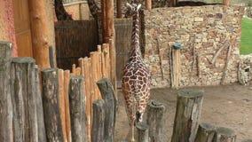 Reticulata reticulado de los camelopardalis del Giraffa de la jirafa, también conocido como la jirafa somalí almacen de video