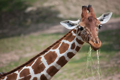 Reticulata Reticulated dos camelopardalis do Giraffa do girafa imagens de stock royalty free