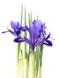 Reticulata van de iris Royalty-vrije Stock Foto