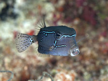 Reticulate Boxfish Lizenzfreies Stockfoto