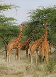 reticulate giraff Royaltyfri Bild
