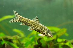Reticulate loach - Botia lohachata Royalty Free Stock Photography