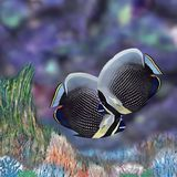 Reticulated Butterflyfish Royalty Free Stock Images