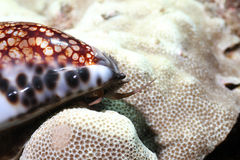 reticulated cowrie Arkivfoton
