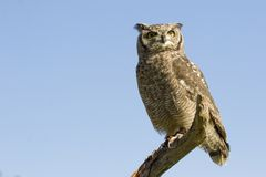 Reticulated eagle owl Stock Photo