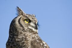 Reticulated eagle owl Royalty Free Stock Photography
