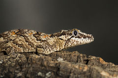 Reticulated Gargoyle gecko on a branch Royalty Free Stock Images
