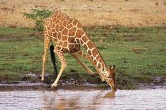 reticulated giraff Arkivbild