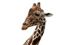 Reticulated giraffe πορτρέτο (reticulata camelopardalis Giraffa) Στοκ Εικόνα