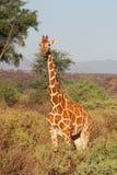 Reticulated Giraffe. From Samburu National Park, in Kenya Royalty Free Stock Photography