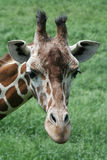 Reticulated Giraffe. Close up view of a reticulated giraffe head Royalty Free Stock Image